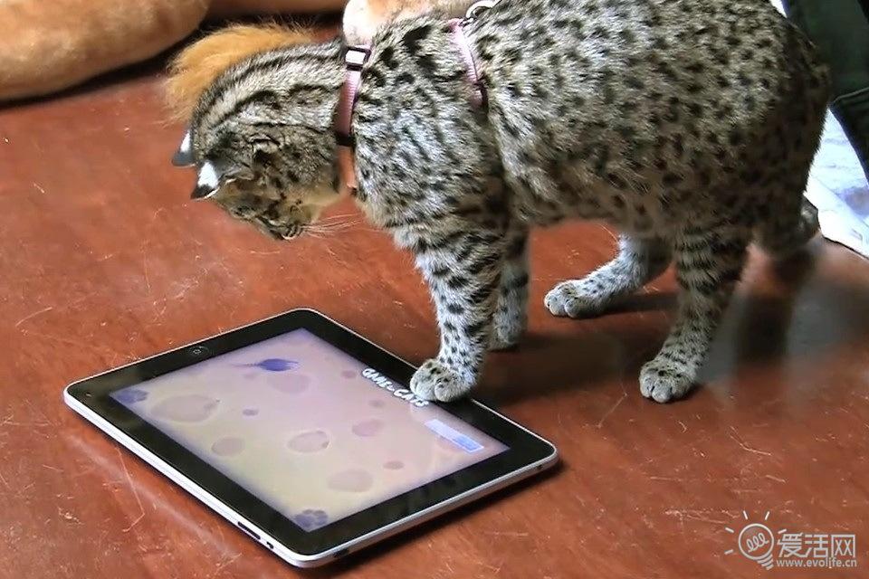 平板进驻动物园 看可爱的大猫们怎么玩ipad