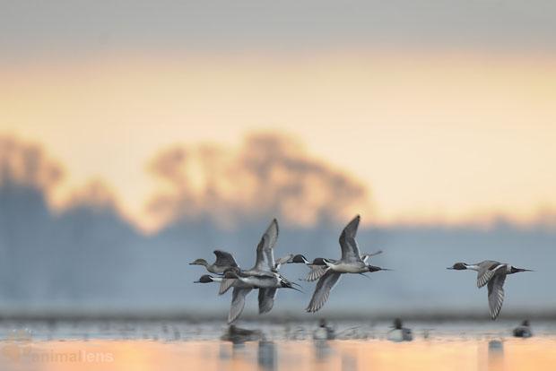 野生动物摄影师伪装成天鹅进行拍摄