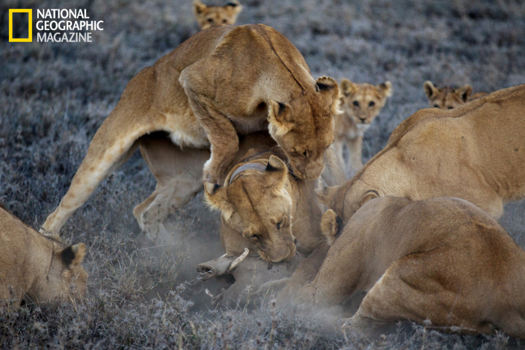 非洲大炮�9�e����e�il_大炮弱爆了 国家地理摄影师用无人机近距离偷拍非洲狮